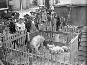 Pigs on display at the Kitchen Waste Campaign at the Royal Pavilion, 11 July 1942